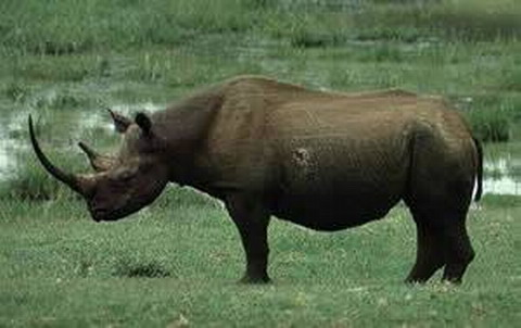 MOCAMBIQUE - rinoceronte negro_resize