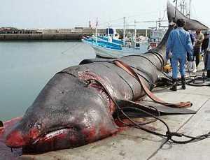 Tubarão capturado