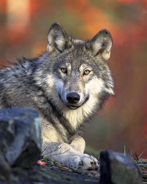 O Lobo Cinzento teria sido o primeiro animal selvagem a ser domesticado pelo homem