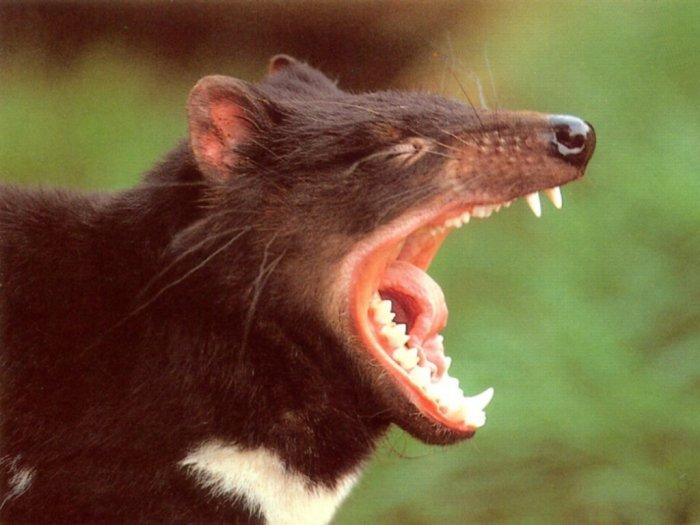 diabo da tasmania