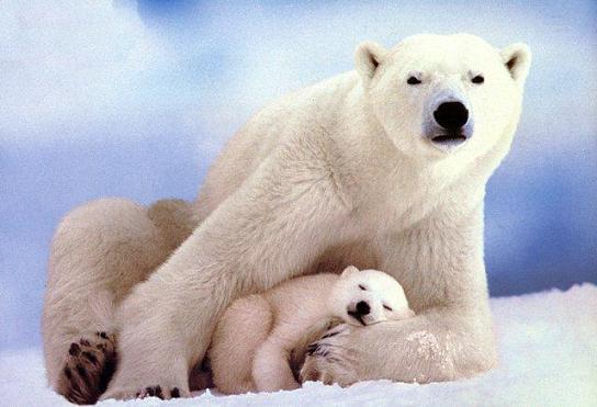 urso-polar-06