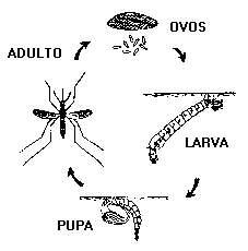 Aedes, transmissor da febre amarela e da dengue