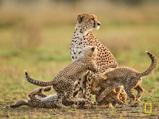 cheetah-mother-scans-ser
