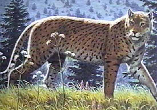 guepardo americano