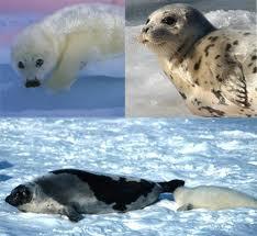 foca da groelândia
