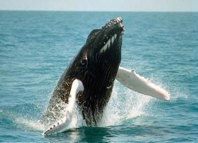 baleia-jubarte-2