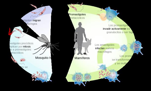Leishmaniasis_life_cycle_diagram-es.svg