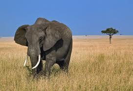 elefante velho