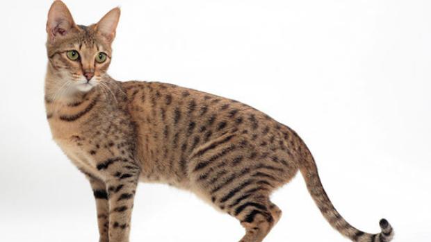 Savannah-gato
