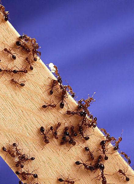 formigas-fire-1