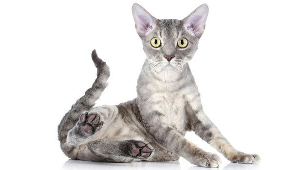 ciencia-natureza-gato-Devon-Rex