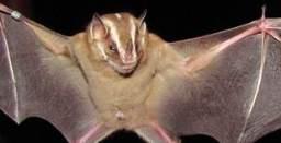 morcego-recuperacao-mata-atlantica-256