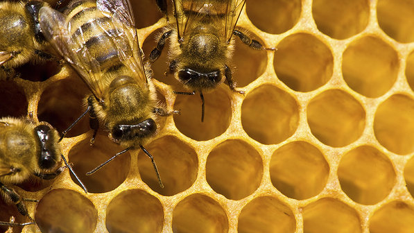 abelhas-apicultura-