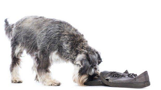 cachorro-morde-sapato
