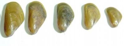 mexilhoes-dourados-400x151