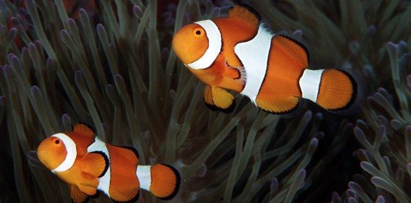 Nem o peixe-palhaço consegue fazer rir os ecologistas