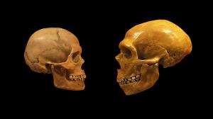 ciencia-cranio-homo-sapiens-neanderthal-20130313-01-size-598