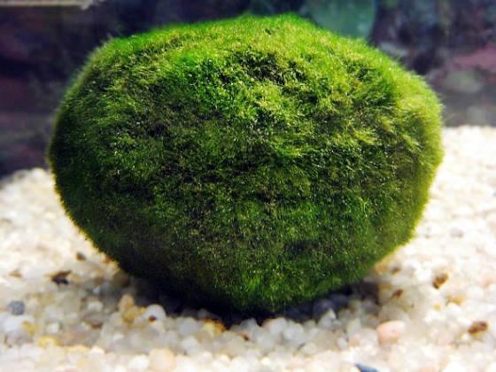 bolinhas-verdes-infestam-praia-australia-560