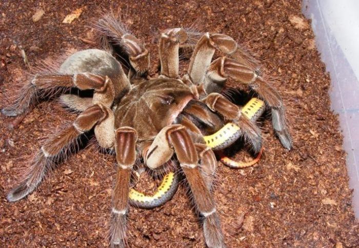 aranha-golias-1