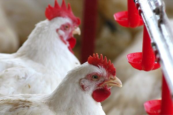 avicultura-600x398