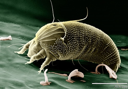 eriophydae