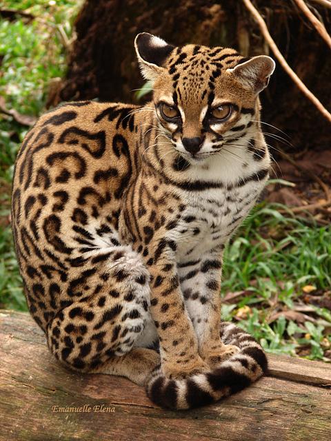 O raríssimo gato maracajá da fauna brasileira