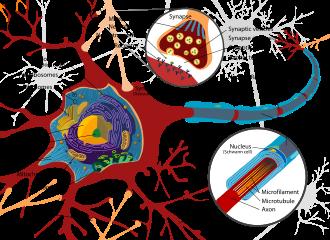 neuro diagrama