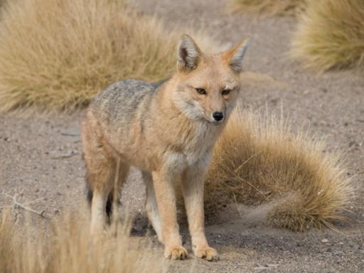 raposa dos pampas