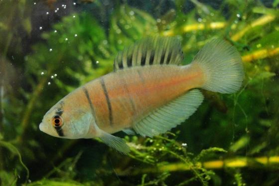 especie-peixe-descoberta-brasil-560