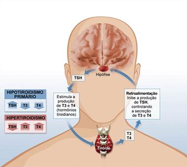 funcionamento cérebro e tireoide