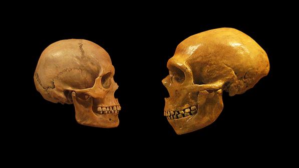 cranio-homo-sapiens-neanderthal