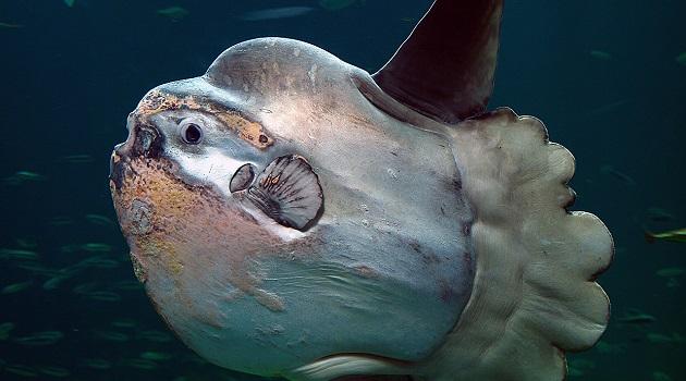peixe-lua-banho-de-sol