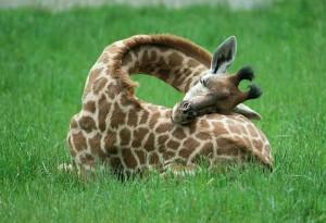 girafa-dormindo-1