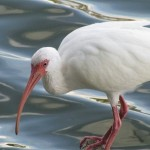 ibis_branco_aves_passaros_150_150