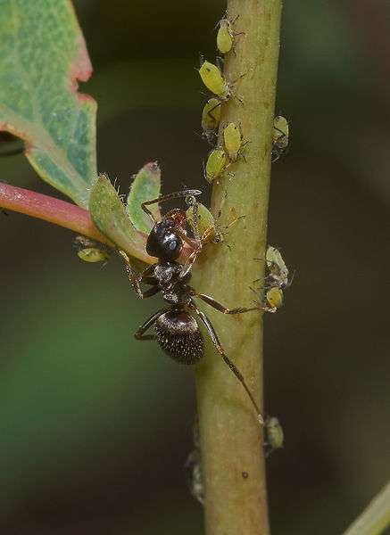 formiga-comendo-pulgao