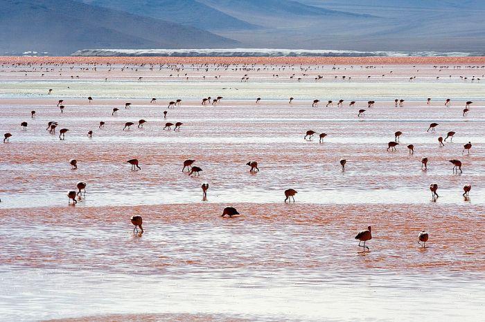 Andean_Flamingos_Laguna_Colorada_Bolivia_Luca_Galuzzi_2006