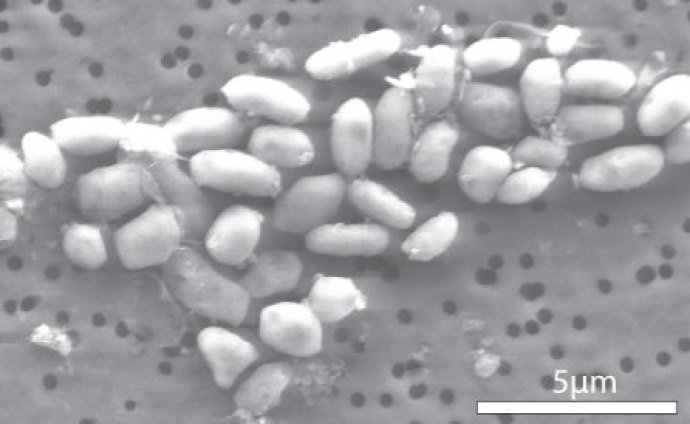 bacteriaarsenio