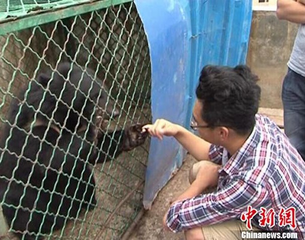 urso negro