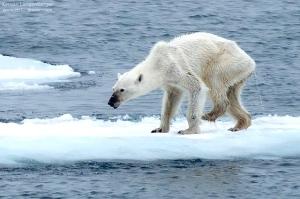 O que restou de um urso polar