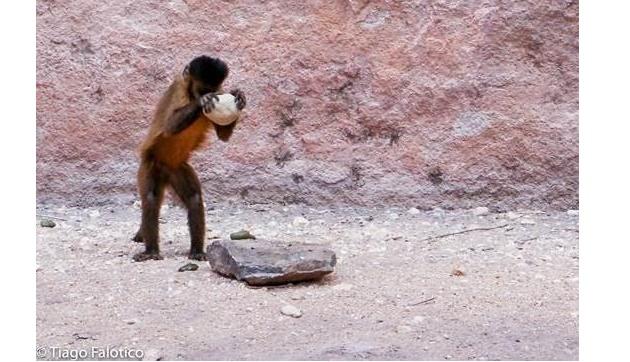 macaco-prego-idade-da-pedra