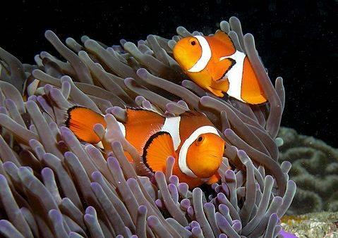 peixe-palhac3a7o1