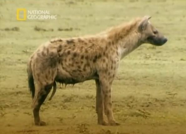 penis hienas