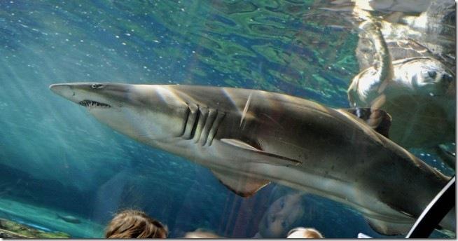 tubarão cinza_thumb[1]