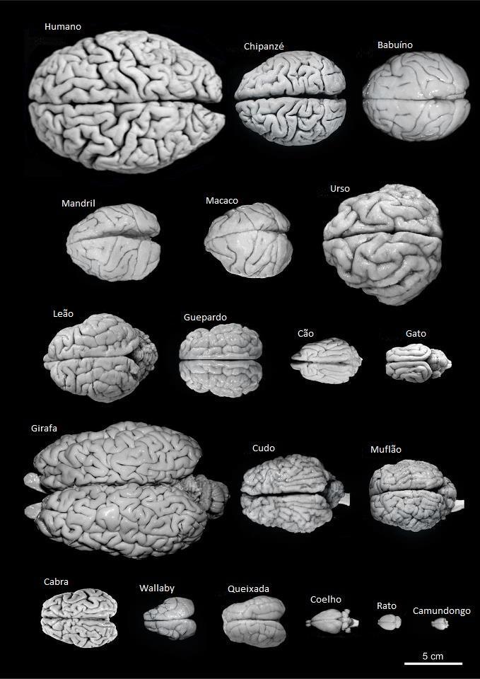 cerebro animal