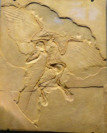 Archaeopteryx_lithographica_Fossil-363x450
