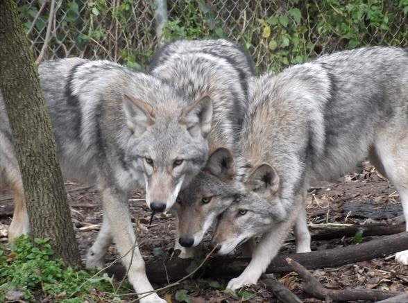 lobo coiote