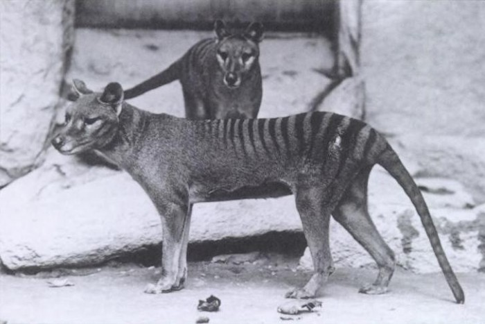 tigre da tasmania