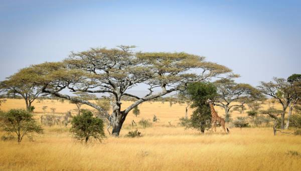 savana-africana